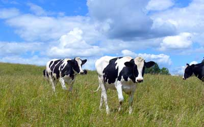 MooScience: Cows in a field.  Cow's milk contains substances which reduce the risk of fibroids.