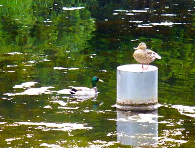 MooScience: ducks swim in algea bloom. Illegal dumping of acid whey can cause water pollution.