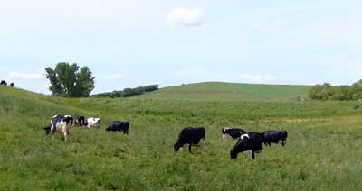 MooScience: a herd of grazing dairy cows.  BSA is a large protein in cow's milk.