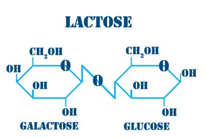 Mooscience: Lactose is an ideal energy sugar