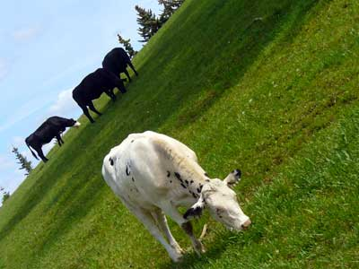 MooScience: happly cattle graze.  Dairy fat from cow's milk can protect you from heart disease.