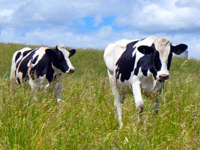 MooScience: two heifers running.  Drinking milk reduces your risk of metabolic syndrome.