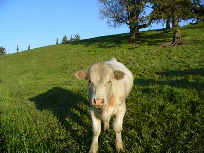 MooScience: calf with shadow