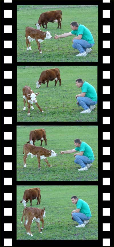 MooScience: curious calf