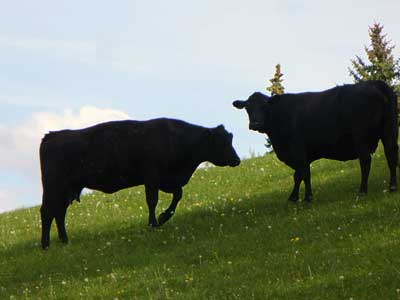 MooScience: two Holstein heifers against a light sky