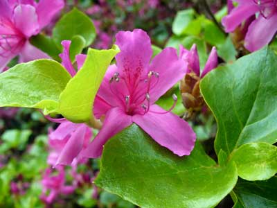 MooScience: pink rhododendron